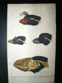 After George Edwards C1800 Hand Col Print. Bird Beaks & Heads. Parroquet Awk etc